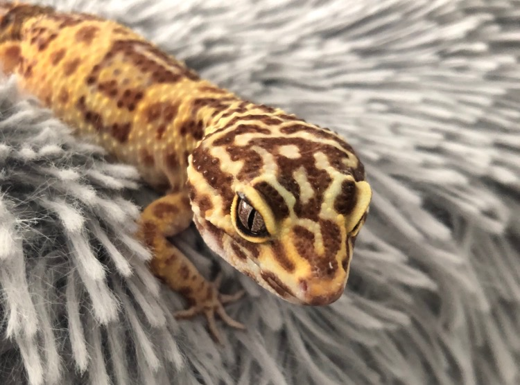 A tail about geckos: Kelly runs reptile rescue business